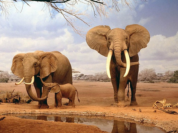 Klicken Sie auf die Grafik für eine größere Ansicht  Name:Family_Indian_Elephant.jpg Hits:268 Größe:135,3 KB ID:14049