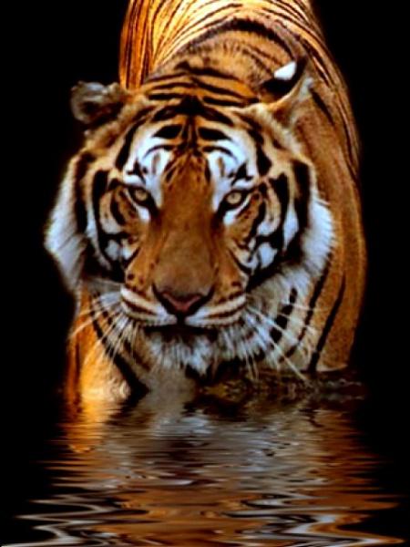 Klicken Sie auf die Grafik für eine größere Ansicht  Name:Tiger.jpg Hits:341 Größe:94,7 KB ID:16505