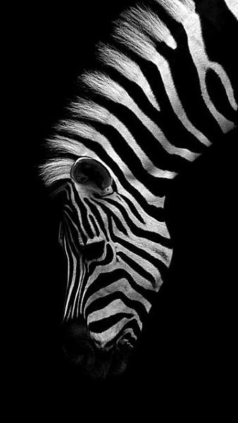 Klicken Sie auf die Grafik für eine größere Ansicht  Name:Zebra.jpg Hits:491 Größe:28,5 KB ID:18936