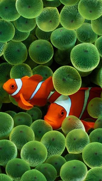 Klicken Sie auf die Grafik für eine größere Ansicht  Name:Clown Fische.jpg Hits:322 Größe:104,6 KB ID:22315