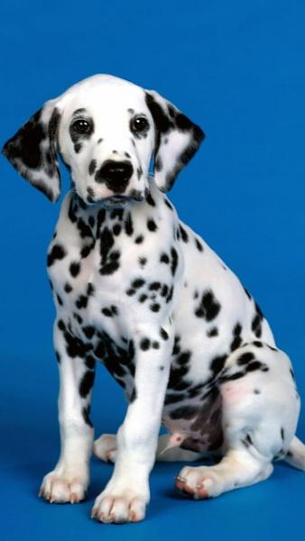 Klicken Sie auf die Grafik für eine größere Ansicht  Name:Dalmatiner.jpg Hits:546 Größe:59,5 KB ID:22316