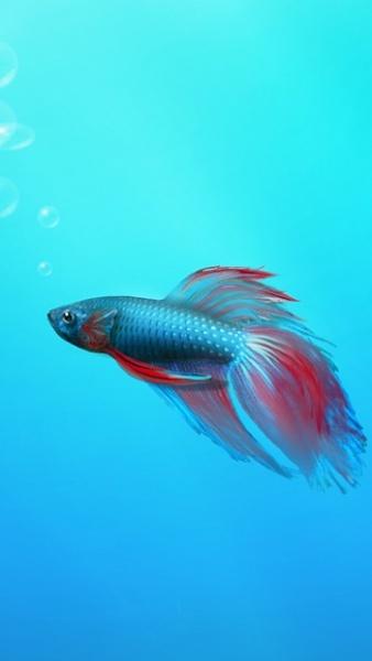 Klicken Sie auf die Grafik für eine größere Ansicht  Name:Kampffisch.jpg Hits:386 Größe:37,1 KB ID:22319