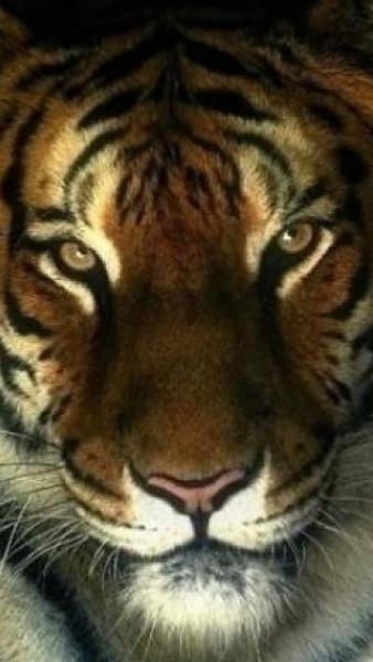 Klicken Sie auf die Grafik für eine größere Ansicht  Name:Tiger Eye.jpg Hits:540 Größe:72,4 KB ID:22962