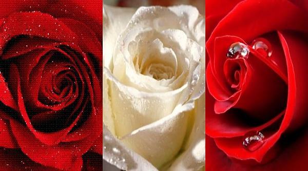 Klicken Sie auf die Grafik für eine größere Ansicht  Name:rosen.jpg Hits:516 Größe:50,5 KB ID:34986
