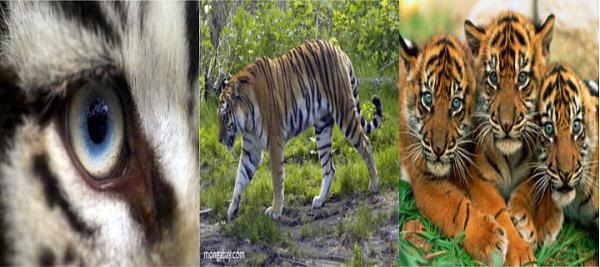 Klicken Sie auf die Grafik für eine größere Ansicht  Name:Tiger.png Hits:309 Größe:477,5 KB ID:46248